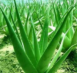 Aloe Vera Powder Extract