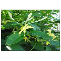 Quality Anti Virus Honeysuckle Flower Extract , Lonicera Japonica Flower Extract CAS 327 97 9 for sale