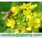 Natural Rape Flower Bee Pollen Manufactures