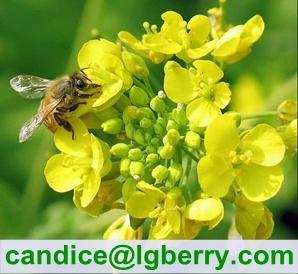 Natural Rape Flower Bee Pollen
