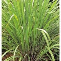 Lemongrass Essential Oil Manufactures
