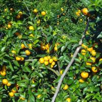 China Citrus Fruit Baby Mandarin on sale