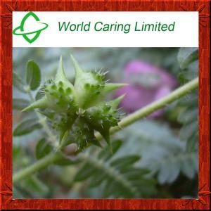 Natural Herbal Viagra Tribulus Terrestris Extract herbal extract 40%-98% Tribulu HPLC Manufactures