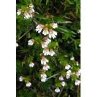 Eyebright Extract 10:1 high quality to improve vision and eyes conditions Manufactures