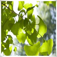 ginkgo biloba leaf extract 24/6 free samples Manufactures