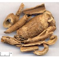 China Chinese Silkvine Root-bark CORTEX PERIPLOCAE Periploca sepium Bge traditional eastern therapy Xiang Jia Pi on sale