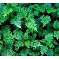 Nettle Extract (huping@nutra-max.com) Manufactures