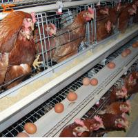 China Used Poultry Battery Cages for Sale Poultry Equipment Price WhatsApp:+8615638238763 on sale