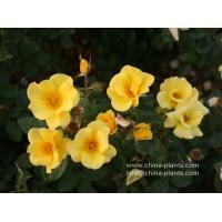bare root rose seedlings for sale online Manufactures