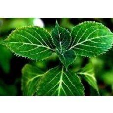 China 100% herb medicine to enlarge penis 8%-98% Yohimbine HCL , Corynante Yohimbe L. on sale