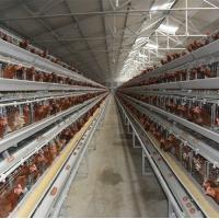 China Automatic Chicken Layer Cage for Sale in Africa on sale