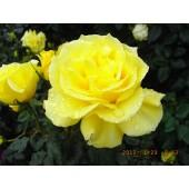 Yellow Large Flowered Rose Manufactures