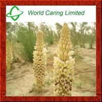 Herbal Extract Cistanche Tubulosa Extract glycosides5%-20% for men sexual enhancement Manufactures