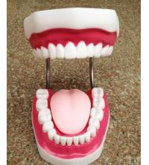 plastic material dental model, tooth model, teeth model Manufactures