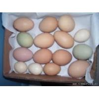 Fertile Parrot Eggs For Sale Manufactures