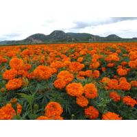 Lutein 5% Phytogenic Feed Additives Garland/Silk Marigold Flowers Extract Powder Manufactures