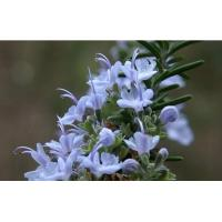 ROSEMARY OIL / Aromatherapy Essential Oils for Skin Care Manufactures