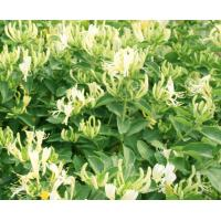 Chlorogenic Acid Wild But Strong Dried Honeysuckle Flower Plant Manufactures