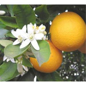 Citrus Aurantium Extract Manufactures