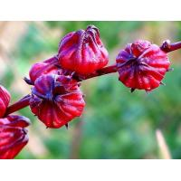 Quality Hibiscus Flower Extract Natural Cosmetic Ingredients Anthocyanin 10% Powder for sale
