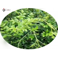 Ethanol Soluble 90% Dihydromyricetin Vine Leaf Extract Manufactures
