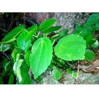 Bulk herb for sale Pilea cavaleriei H Lév traditional chinese herb online store Shi you cai Manufactures