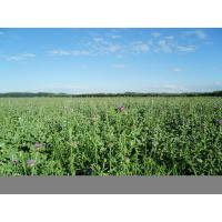 China Milk thistle extract of health efficacy on sale