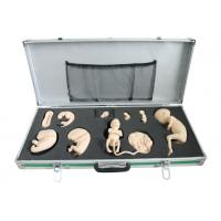 Portable Box with Fetal Model for Observation and Study of Embryonic Development Manufactures