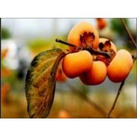 China Persimmon Extract 40-50% Polyphenols (UV) / 30-40% Total Flavonon on sale