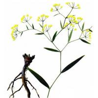 Bupleurum chinense DC. dried root Manufactures