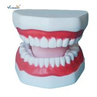 Plastic Dental Model of Tooth Anatomical Model with A 32 Tooth Dental Teaching Model Manufactures