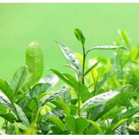 China Tea Extracts on sale