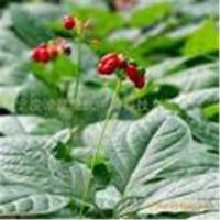 Panax Ginseng Berry Extract Manufactures