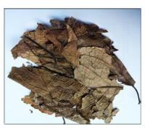 Cortex Eucommiae Leaf,leaf of Eucommia ulmoides Oliver,Eucommiae Folium Manufactures