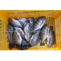 China Frozen Tilapia Gutted & Scaled on sale