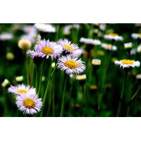 Powdered Natural Plant Extracts Erigeron Breviscapus Extract HPLC / UV Test