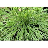 Selaginella lamariscina Spring .dried whole parts Manufactures