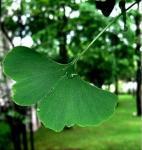 Ginkgo Biloba Extract,  Ginkgo Leaf(Ginkgo Folium) Manufactures