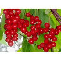 Quality Chinese Magnolia Vine Fruit Antibacterial Plant Extracts , Herbal Extract Powder for sale