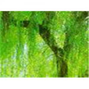 China Salix  BabylonicaL.PE on sale