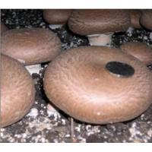 China Fresh Portabella Mushroom on sale