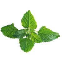 Quality Herbal Extract Mint Plant Extract Powder , Natural Herbal Extracts ISO Certified for sale