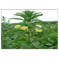 Evening Primrose Organic Plant Oils Food Grade Golden Yellow Color ISO Certification Manufactures