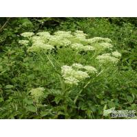 Top quality pure natural angelica root extract 10:1 --Angelica Sinensis(Oliv.)Diels Manufactures