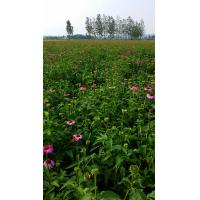 Factory Supply 4% Polyphenols/ Echinacea Extract, echinacea purpurea extract in bulk Manufactures