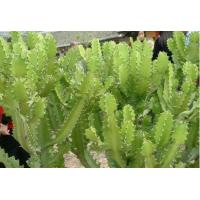 China Euphorbia antiquorum  L dried Ancients Euphorbia Stems orient medical herbs on sale