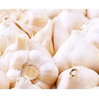 Supply Garlic P.E./extract/powder Manufactures