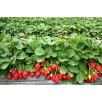 high quality freeze dried strawberry powder sample free/pure organic strawberry powder Manufactures