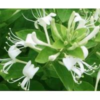 Natural Chinese Herbal Honeysuckle Flower Tea To Treat Coughs & Asthma Manufactures
