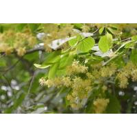 China Chinese Herbal Medicines Linden Flower on sale